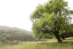 Large bushy tree growing on an angle next to a lake