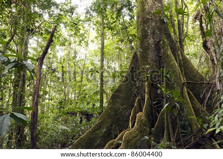 Large buttressed tree in primary rainforest, Ecuador