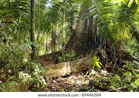 Large buttressed tree in the Peruvian Amazon framed with palm fronds.