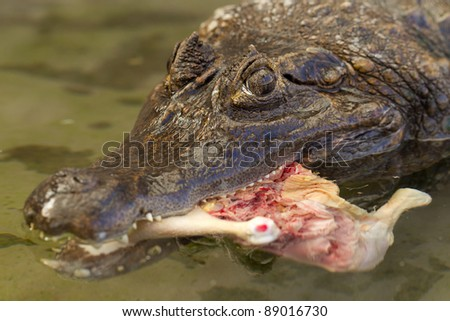 Large caiman crocodile in Amazon waters lured with a chiken