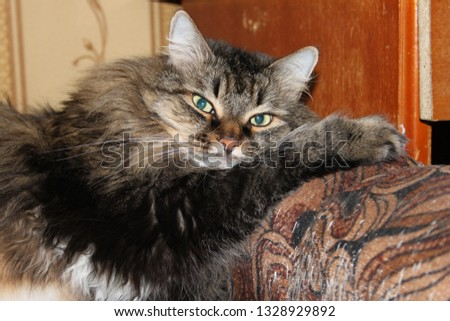 Large cat breed Siberian.Heavy muscular body. Short head with rounded snout eye-catching chin.Slightly oval round eyes.Smart, affectionate, very playful cat.