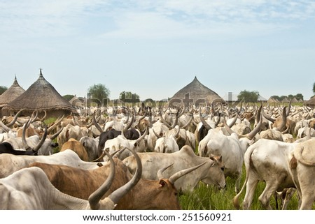 large cattle drive through a village in South Sudan