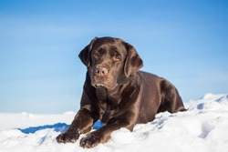 large chocolate labrador retriever dog in winter forest. Doesn't look at the camera. Lies, all growth is visible.