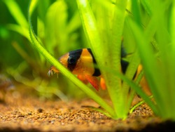 Large clown loach (Chromobotia macracanthus) hidden among the plants in a fish tank with blurred background