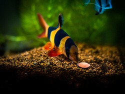 Large clown loach eating in fish tank with blurred background (Chromobotia macracanthus)