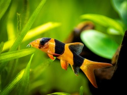 Large clown loach isolated in fish tank (Chromobotia macracanthus) with blurred background
