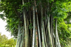 large clump of bamboo, green nature background