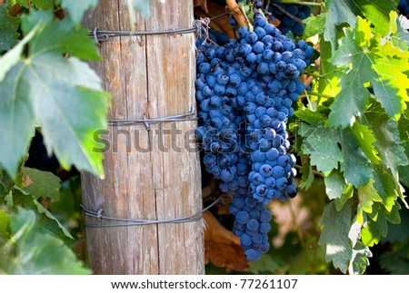 Large cluster of grapes on the vine in California wine country.