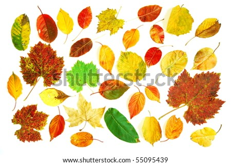 Large collection of different shaped and colored autumn leaves photographed on white background