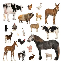 Large collection of farm animal, in different position, Isolated on white background.