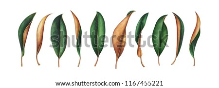 Large collection of magnolia leaves isolated on white background. Hand drawn watercolor illustration.