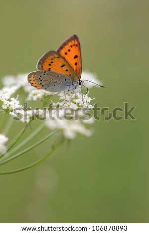 Large Copper butterfly Lycaena dispar on Anthriscus sylvestris, known as Cow Parsley, Wild Chervil, Wild Beaked Parsley, Keck, or Queen Anne's lace or Mother-die