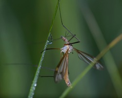 Large crane fly sitting on grass among dew drops