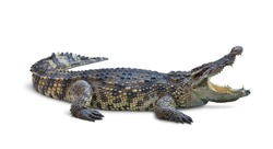 Large Crocodile open mouth isolated on white background. Clipping path.