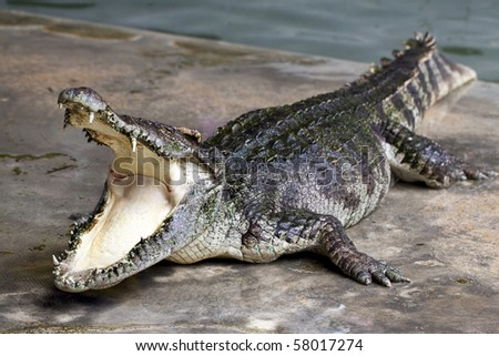 Large crocodile resting beside the pool - stock photo