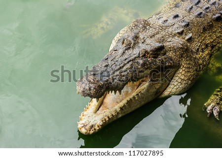 Large crocodiles in the water green.