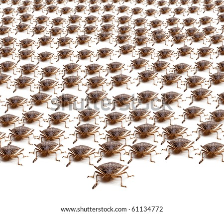 Large crowd of Brown Marmorated Stink Bug or Shield Bug isolated against white background