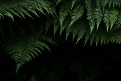 large dark green fern leaves on a black background