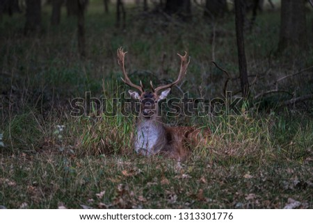 Large dear with big antlers resting in the grass, early morning in the forest scenery, dawn #1313301776
