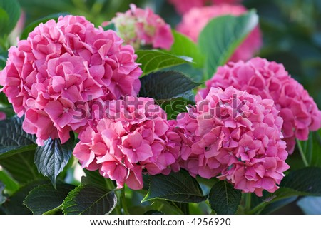 Large deep pink hydrangea blossoms - August summer flower.