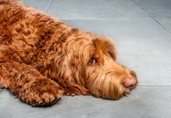 Large dog lying on marble tiles with head on the ground,  looking a bit sad or worried. Super fluffy red / orange female Labradoodle.
