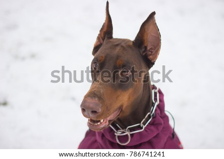 large dog ores are sitting in the snow and looking at their owner #786741241