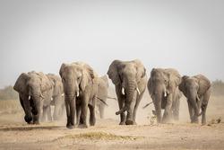 Large elephant herd walking in dust in Savuti in Botswana
