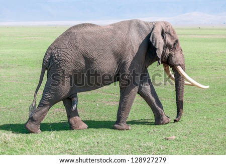 Large elephant male in Crater Ngorongoro National Park - Tanzania, East Africa