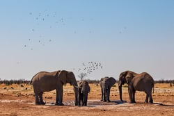 Large Elephants quench their thirst at a waterhole in a Botswana park, and flocks of birds fly in the sky.