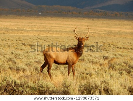Large elk deer with antlers standing in the grasslands of Yellowstone National Park in Wyoming