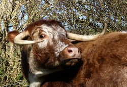 Large English Longhorn cow turns to face camera. Eye contact. nostrils flared. Natural outdoor image with rough hedgerow background. Landscape image with space for text. Oxfordshire, England.