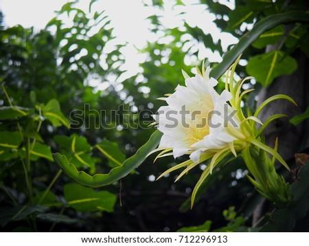Free photos large exotic beautiful whiteyellow flowers of white large exotic beautiful whiteyellow flowers of white dragon fruit tree cactaceaeplant growing mightylinksfo