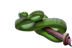 Large-eyed Green Pitviper or Green pit vipers or Asian pit vipers, green snake on branch with white background in Thailand and clipping path.