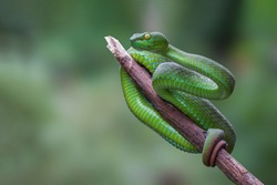 Large-eyed Green Pitviper or Trimeresurus [Cryptelytrops] macrops Krammer or Green pit vipers or Asian pit vipers, green snake on branch with green background in Thailand.