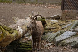 large fall on a mountain goat in an animal park