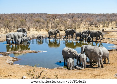 Large family of african elephants at Moringa waterhole in sunny winter day. Etosha national park, Namibia, Africa.
