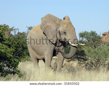 Large female African elephant