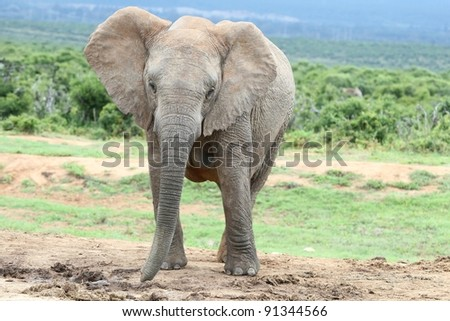Large female African elephant at a waterhole