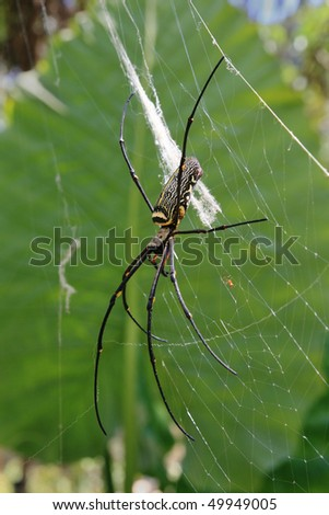 large female and tiny male golden orb weaver spider in Thailand