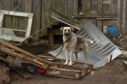 large female dog on a chain in poor living conditions. The ruined house of associates. Dog owned by alcoholics.