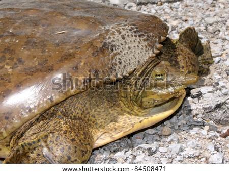Large female Spiny Softshell Turtle, Apalone spinifera, laying eggs