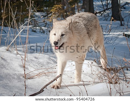 large female white arctic wolf running on fresh snow