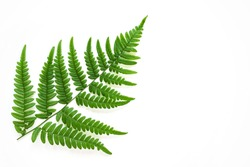 Large fern leaf on white background. Photo with copy blank space.