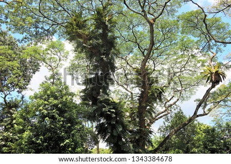 Large ferns growing on the trunks of aged rain trees as parasitic plants in the tropics.  In spite of this, these rain trees thrive and boasts of their lush foliage.   #1343384678