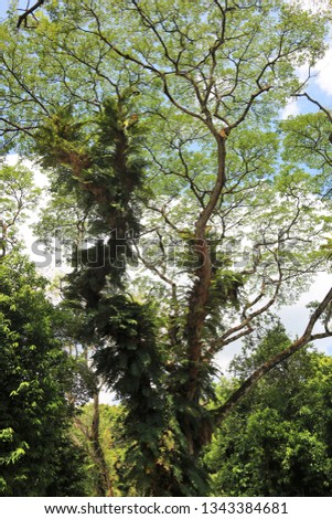 Large ferns growing on the trunks of aged rain trees as parasitic plants in the tropics.  In spite of this, these rain trees thrive and boasts of their lush foliage.   #1343384681