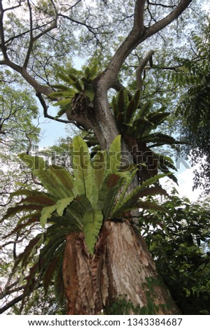 Large ferns growing on the trunks of aged rain trees as parasitic plants in the tropics.  In spite of this, these rain trees thrive and boasts of their lush foliage.   #1343384687