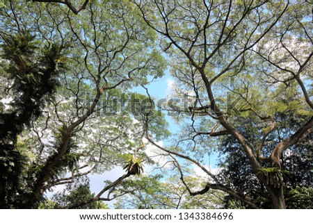 Large ferns growing on the trunks of aged rain trees as parasitic plants in the tropics.  In spite of this, these rain trees thrive and boasts of their lush foliage.   #1343384696