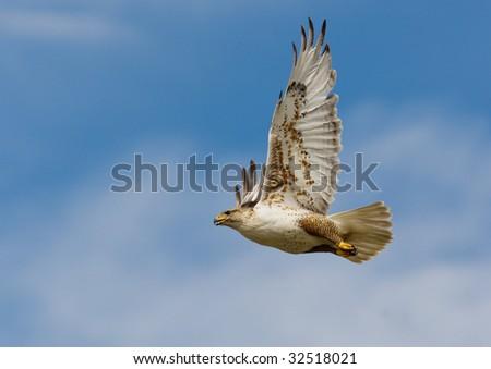 Large Ferruginous Hawk in flight with blue sky