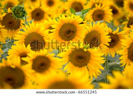 Large field of blooming sunflowers. An image with shallow depth of field.