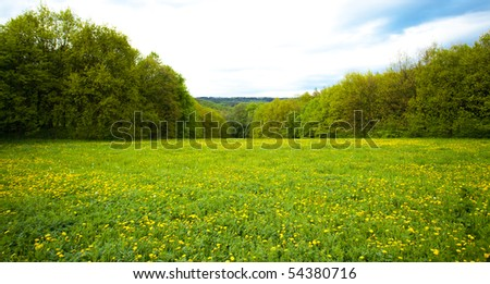 large field of dandelions in the woods